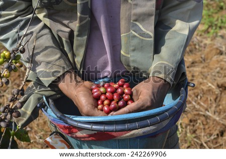 Male farmer with a bucket of red arabica coffee berries hand picking at coffee plantation - stock photo
