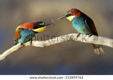 Male & Female European Bee-eater (Merops apiaster) perched on a branch. Male passes female an insect gift during courtship  - stock photo