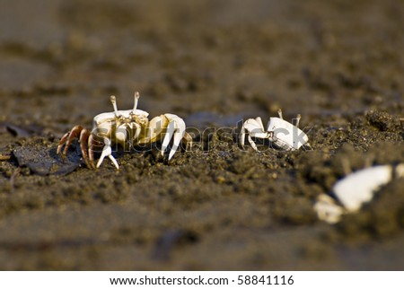 Male Fiddler Crab - stock photo