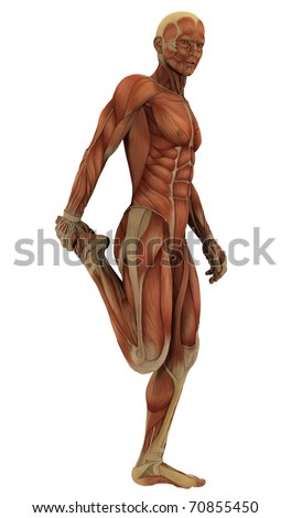 muscle structure stock images, royalty-free images & vectors, Muscles