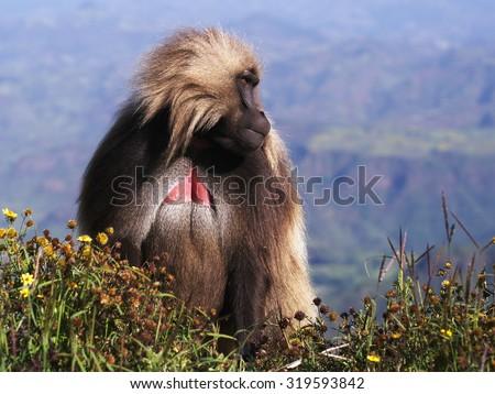 Male Gelada, Simien mountains, Ethiopia - stock photo