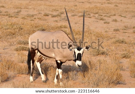 Male Gemsbok Antelope in the Kgalagadi Transfrontier Park, Southern Africa. - stock photo