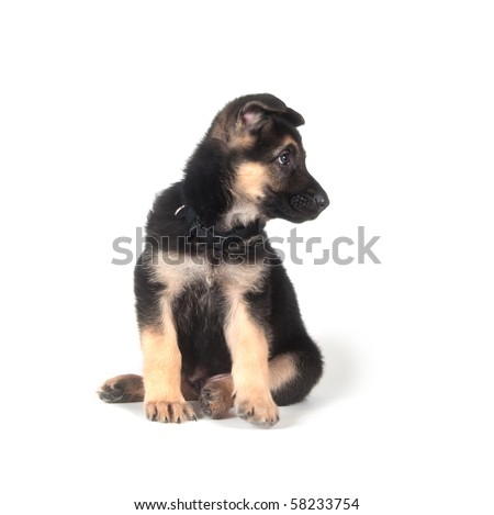 Male German Shepherd puppy on a white background
