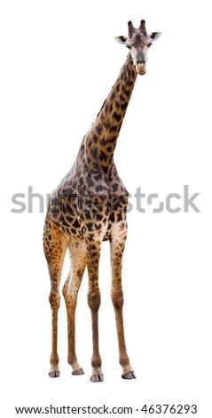 Male giraffe isolated on white background look beautiful - stock photo