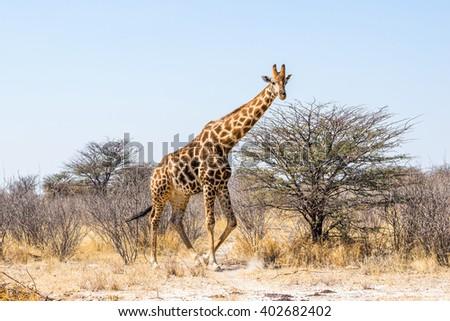 Male giraffe walking in african bush. Etosha national park, Namibia. - stock photo