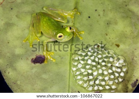 Male glass frog (family Centrolenidae) guarding a clutch of eggs in the Choco Biological Region in Western Ecuador - stock photo