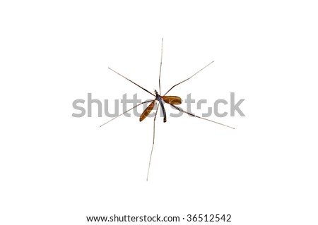Male gnat - isolated on white - stock photo