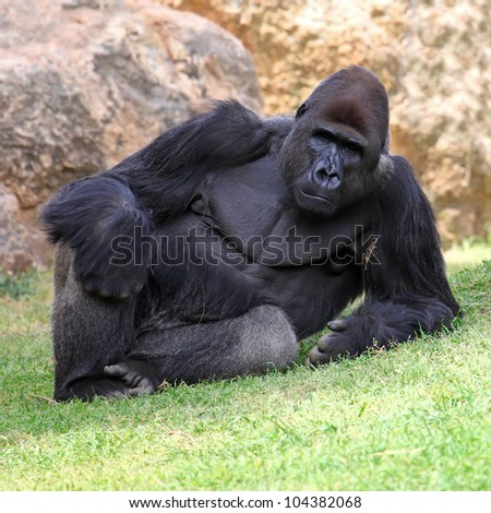 Male Gorilla lying in the grass