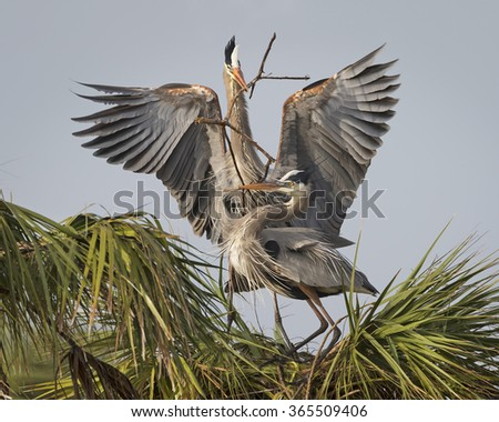 Male Great Blue Heron (Ardea herodias) delivering a stick to his mate for their nest - Florida - stock photo