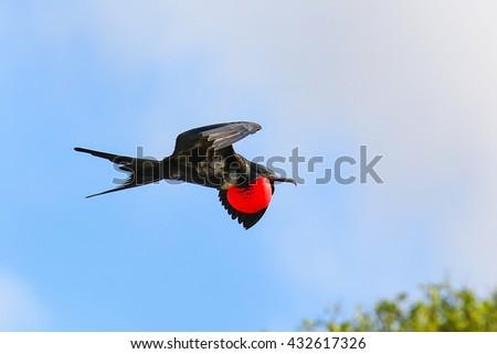 Male Great Frigatebird (Fregata minor) flying in blue sky, Galapagos National Park, Ecuador - stock photo