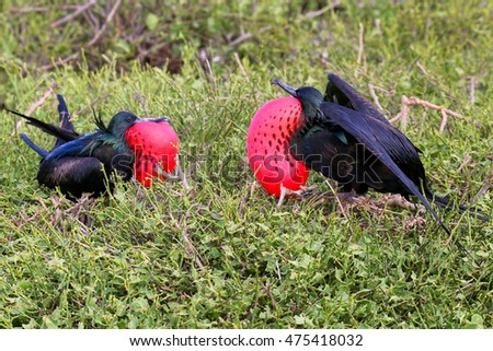 Male Great Frigatebirds (Fregata minor) on Genovesa Island, Galapagos National Park, Ecuador