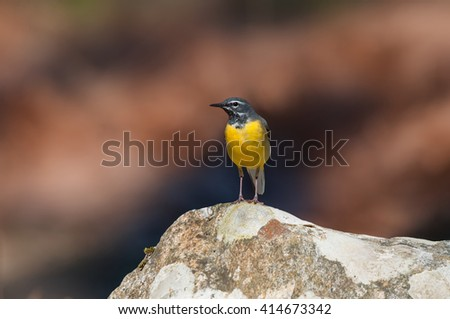 Male grey wagtail front - stock photo