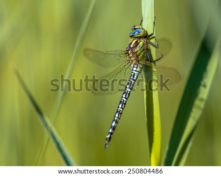Male Hairy Dragonfly (Brachytron pratense) perched on a leaf in the early morning sun - stock photo
