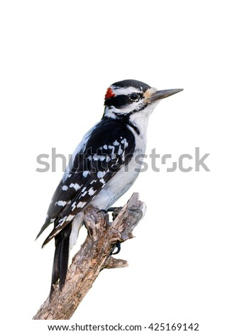 Male Hairy Woodpecker on White Background, Isolated