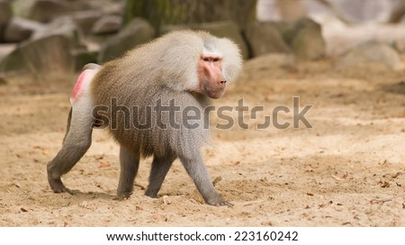 Male hamadryas baboon is walking on the ground