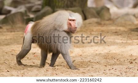 Male hamadryas baboon is walking on the ground - stock photo
