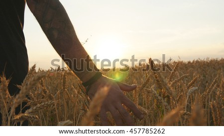 Male hand moving over wheat growing on the field. Field of ripe grain and man's hand touching wheat in summer field. Man walking through wheat field, touching wheat spikes at sunset - stock photo