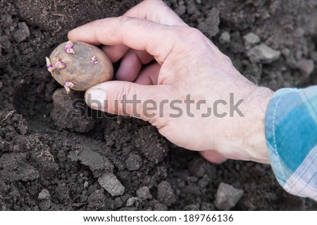 Male hand planting potato tubers into the soil - stock photo