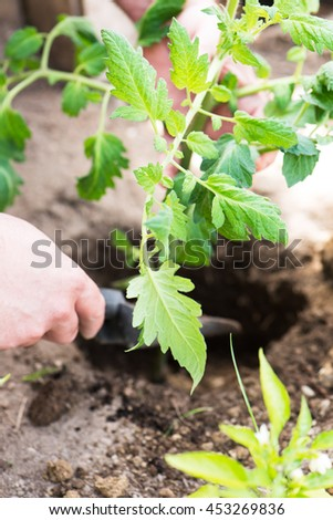 male hand seedling a young tomato plant into a previously dug hole in his private garden, close up, vertical - stock photo