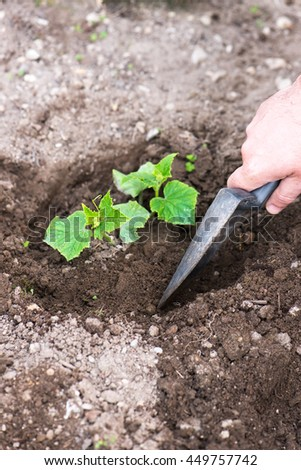 male hand shoveling the soil and seedling young organic cucumber plant in his backyard home garden, vertical composition - stock photo