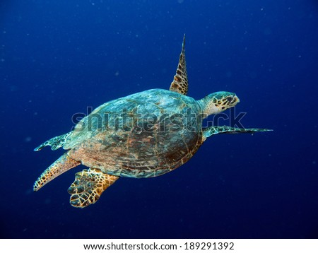 Male hawksbill turtle (Reptile) - stock photo