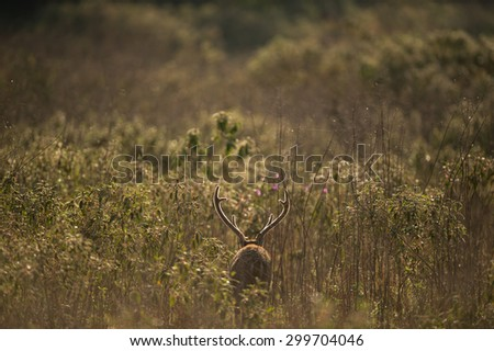 Male hog deer in the morning background, Phukhieo Wildlife Sanctuary, Thailand - stock photo