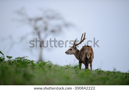 Male hog deer stand alone on grassland, Thailand - stock photo