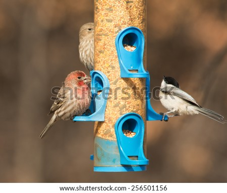 Male House Finch at feeder, eating seeds, with a female on the background and a Chickadee just taking flight - stock photo