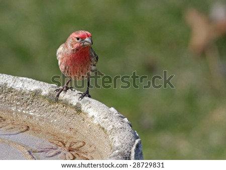 Male House Finch (Carpodacus Mexicanus) - stock photo