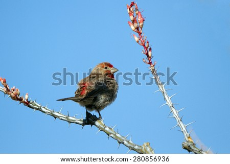 Male House Finch on a flowering ocotillo cactus in Arizona's Sonoran Desert - stock photo