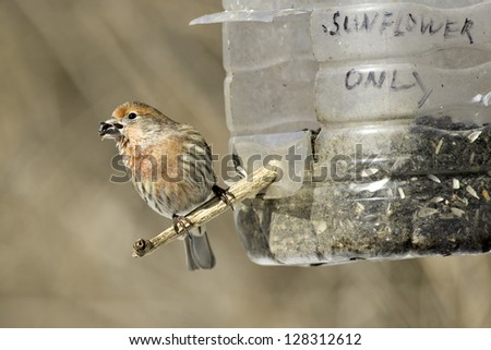 Male House Finch perched on a home made bird feeder. - stock photo