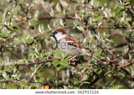 Male House Sparrow (Passer domesticus) perched in a bush.