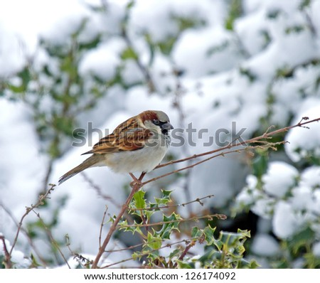 Male House Sparrow perched on holly hedge in snow - stock photo