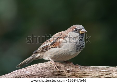 Male housesparrow sitting on a branch