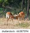 Male Impala Antelope (Aepyceros Melampus) in the Kruger Park, South Africa. - stock photo