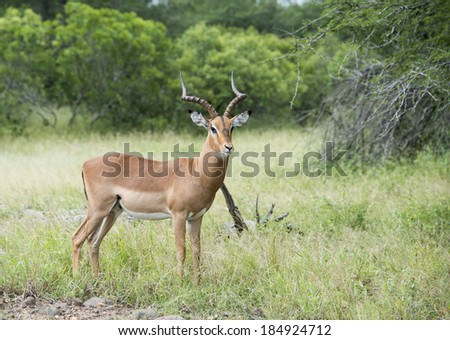 male impala kruger national park south africa - stock photo