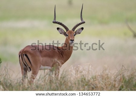 Male impala shading in african savanna - stock photo
