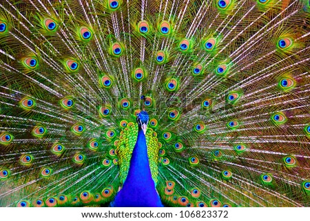 Male indian peacock showing its tail - stock photo