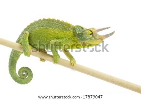 male Jackson?s Chameleon (Chamaeleo jacksonii) on white background. - stock photo