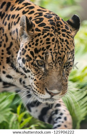male jaguar - (Panthera onca)