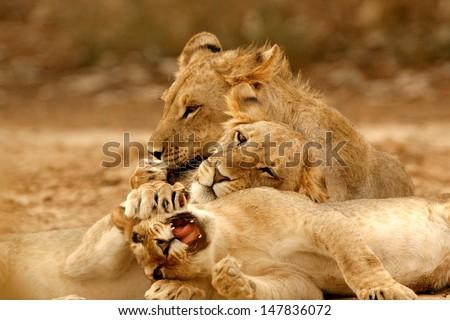Male Kalahari Lion - stock photo