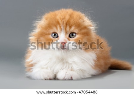 Male kitten scottish fold breed on gray. No isolated.