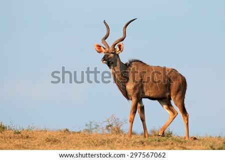 Male kudu antelope (Tragelaphus strepsiceros) against a blue sky, South Africa - stock photo