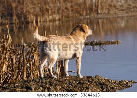 Male labrador retriever working on the field and lake - stock photo