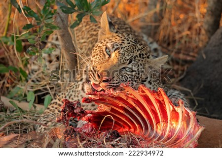 Male leopard (Panthera pardus) feeding on its prey, Sabie-Sand nature reserve, South Africa - stock photo