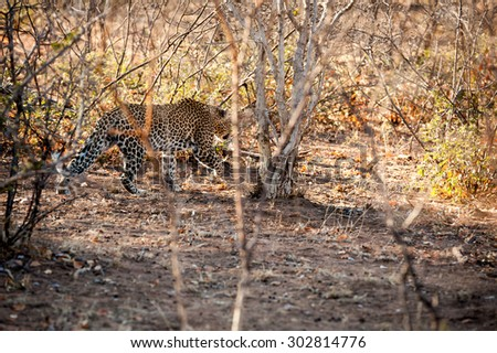 male leopard walking through the bush at kruger national park - stock photo