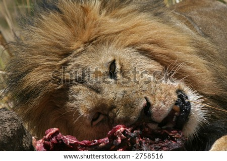 Male Lion at Kill