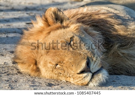 stock-photo-male-lion-at-sunset-resting-