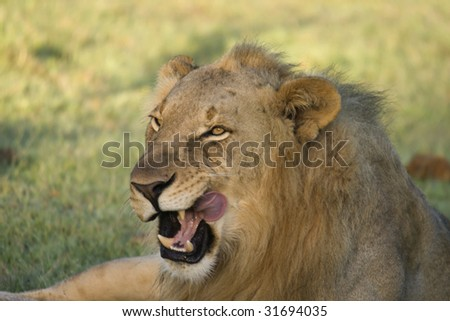 Male lion cleaning himself. - stock photo