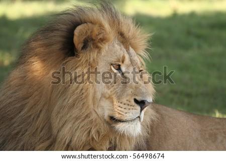 Male lion close up # - stock photo